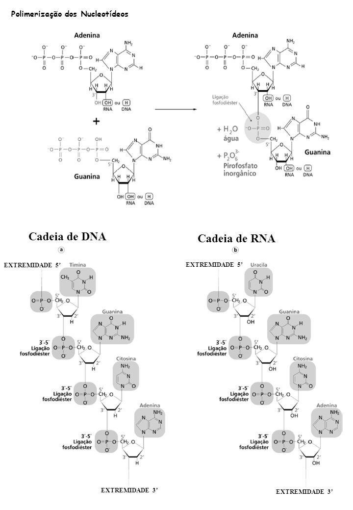 Cadeia de DNA Cadeia de RNA Polimerização dos Nucleotídeos
