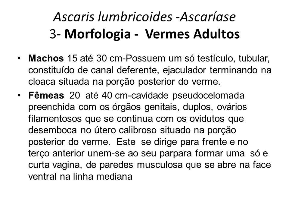 Ascaris lumbricoides -Ascaríase 3- Morfologia - Vermes Adultos