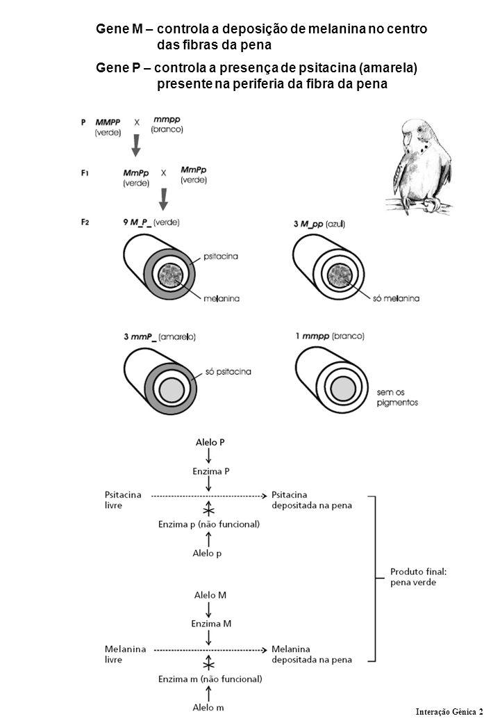 Gene M – controla a deposição de melanina no centro das fibras da pena