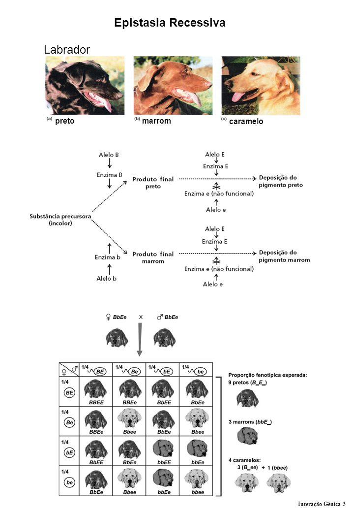 Epistasia Recessiva Labrador preto marrom caramelo Interação Gênica 3