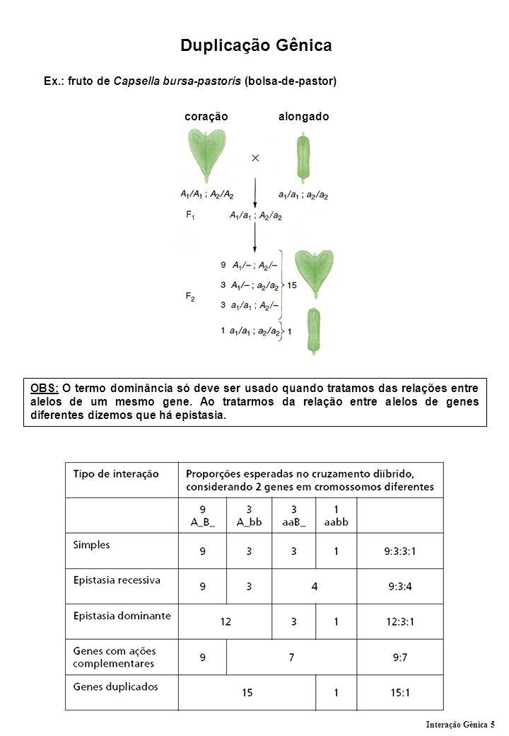 Duplicação Gênica Ex.: fruto de Capsella bursa-pastoris (bolsa-de-pastor) coração alongado.