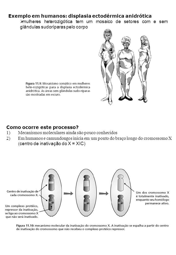 Exemplo em humanos: displasia ectodérmica anidrótica