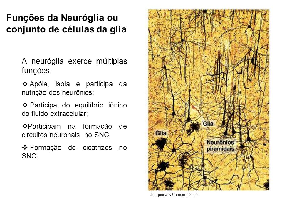 Funções da Neuróglia ou conjunto de células da glia