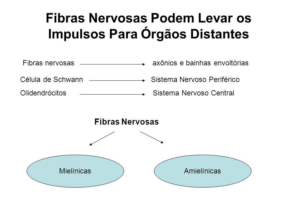 Fibras Nervosas Podem Levar os Impulsos Para Órgãos Distantes