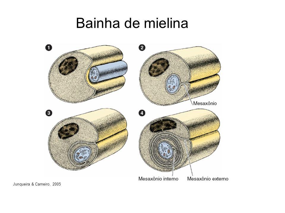 Bainha de mielina Junqueira & Carneiro, 2005
