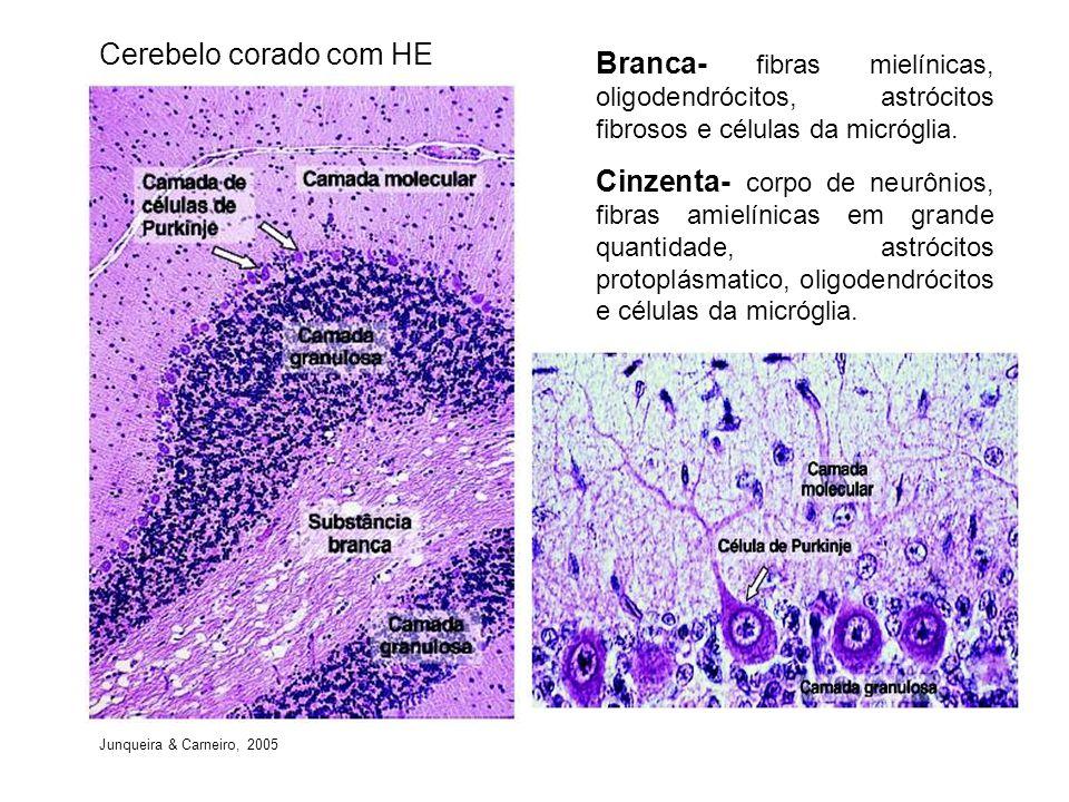 Cerebelo corado com HE Branca- fibras mielínicas, oligodendrócitos, astrócitos fibrosos e células da micróglia.