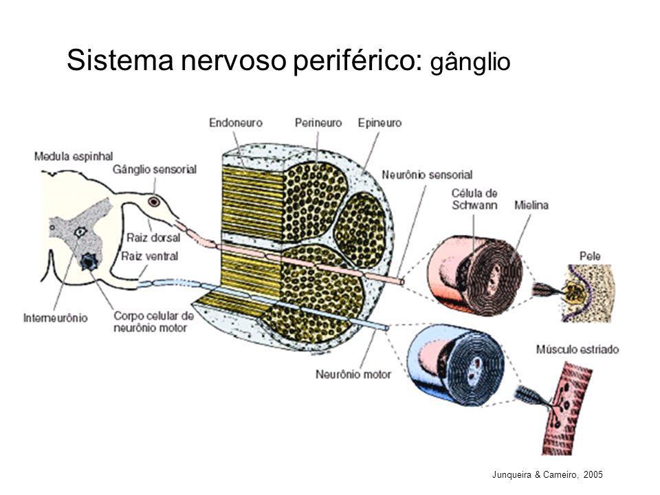 Sistema nervoso periférico: gânglio
