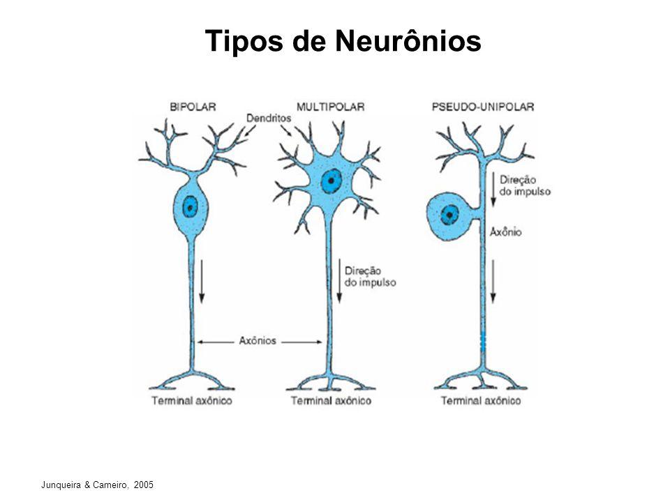 Tipos de Neurônios Junqueira & Carneiro, 2005