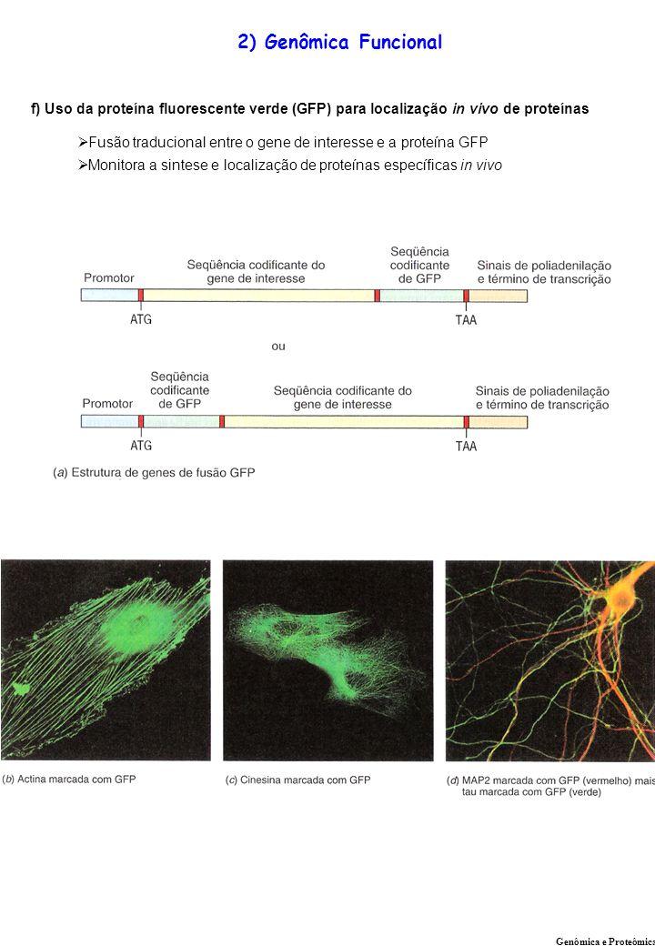 2) Genômica Funcional f) Uso da proteína fluorescente verde (GFP) para localização in vivo de proteínas.