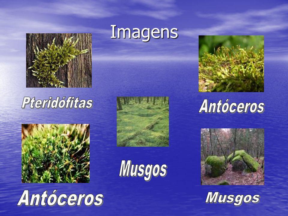 Imagens Pteridófitas Antóceros Musgos Antóceros Musgos
