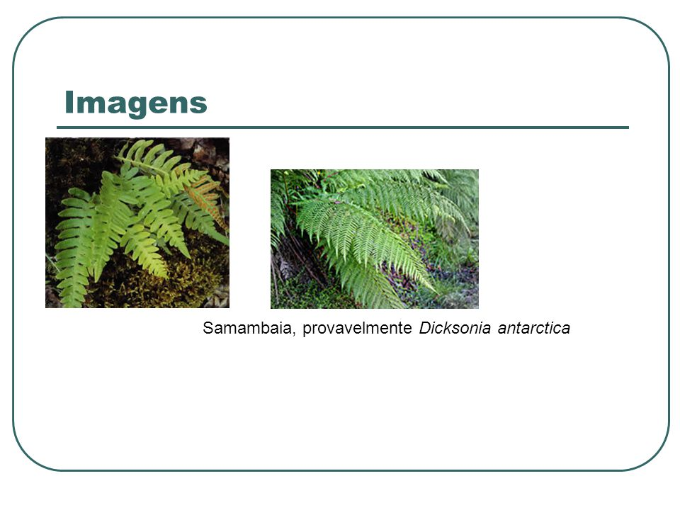 Samambaia, provavelmente Dicksonia antarctica