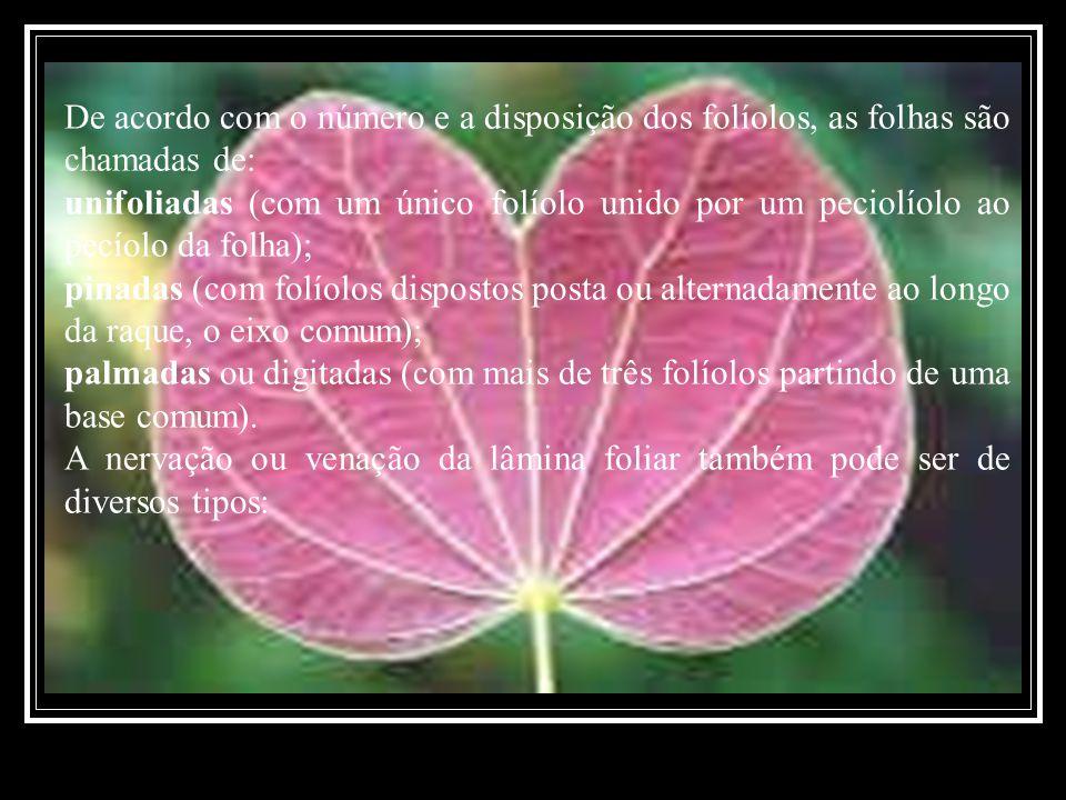 De acordo com o número e a disposição dos folíolos, as folhas são chamadas de: