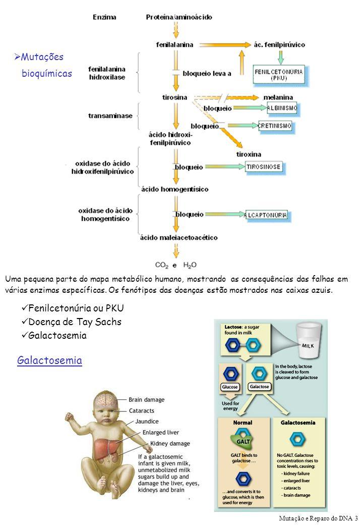 Galactosemia Mutações bioquímicas Fenilcetonúria ou PKU
