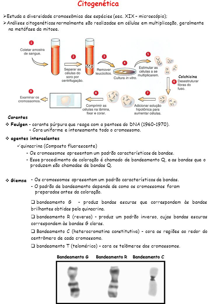 Citogenética Estuda a diversidade cromossômica das espécies (sec. XIX – microscópio);