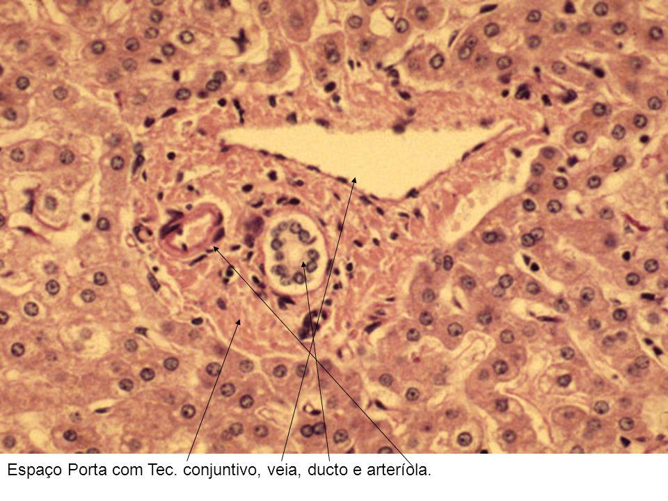 Espaço Porta com Tec. conjuntivo, veia, ducto e arteríola.