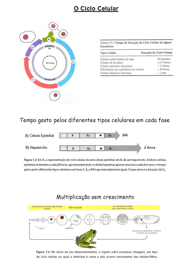 O Ciclo Celular 1h. Tempo gasto pelos diferentes tipos celulares em cada fase. A) Célula Epitelial.