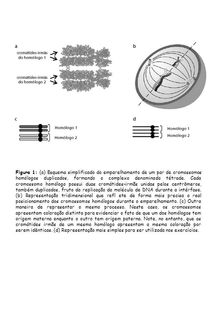 Figura 1: (a) Esquema simplificado do emparelhamento de um par de cromossomos homólogos duplicados, formando o complexo denominado tétrade.