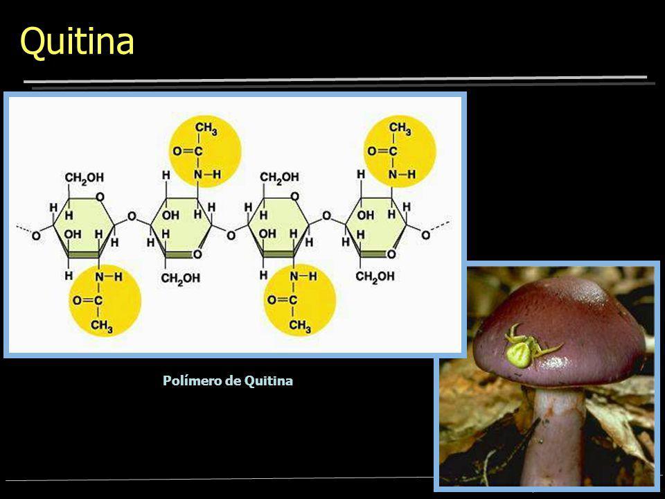 Quitina Polímero de Quitina