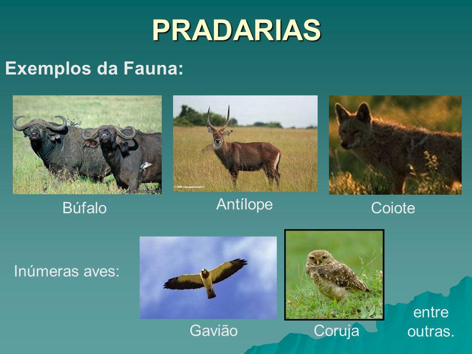 PRADARIAS Exemplos da Fauna: Antílope Búfalo Coiote Inúmeras aves: