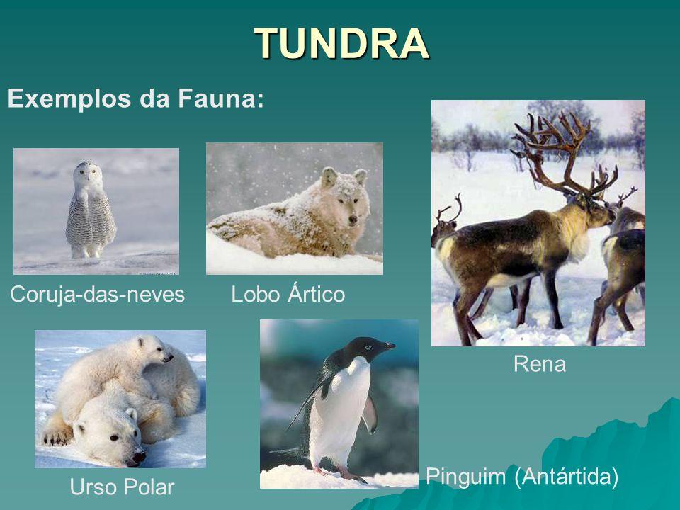 TUNDRA Exemplos da Fauna: Coruja-das-neves Lobo Ártico Rena