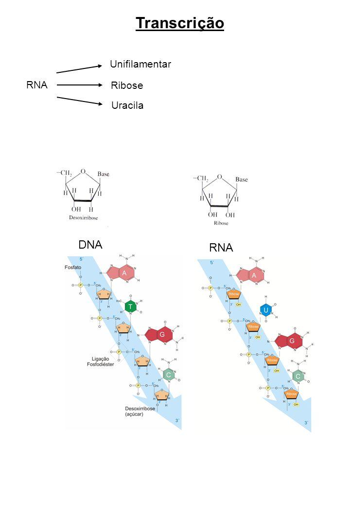 Transcrição RNA Unifilamentar Ribose Uracila DNA RNA
