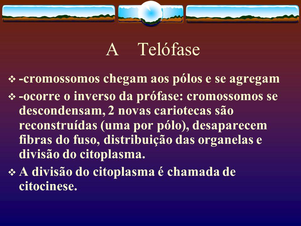 A Telófase -cromossomos chegam aos pólos e se agregam