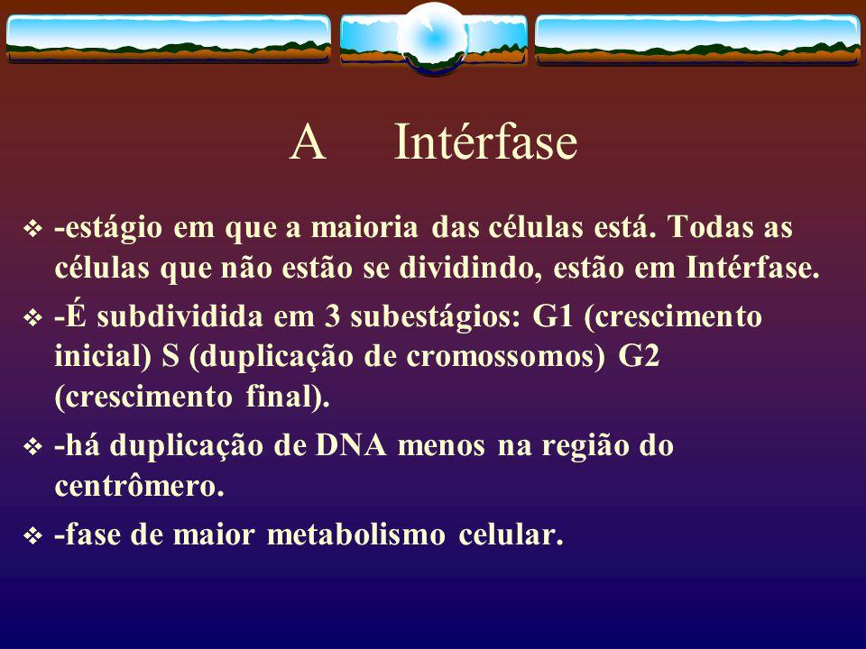 A Intérfase -estágio em que a maioria das células está. Todas as células que não estão se dividindo, estão em Intérfase.