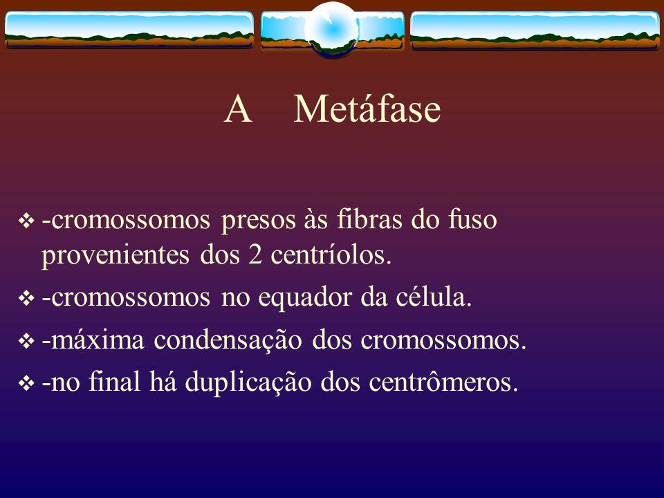 A Metáfase -cromossomos presos às fibras do fuso provenientes dos 2 centríolos. -cromossomos no equador da célula.