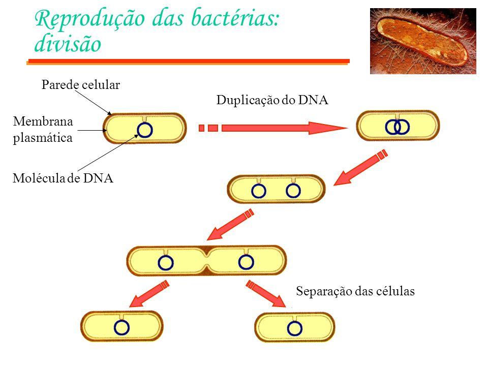 Reprodução das bactérias: divisão