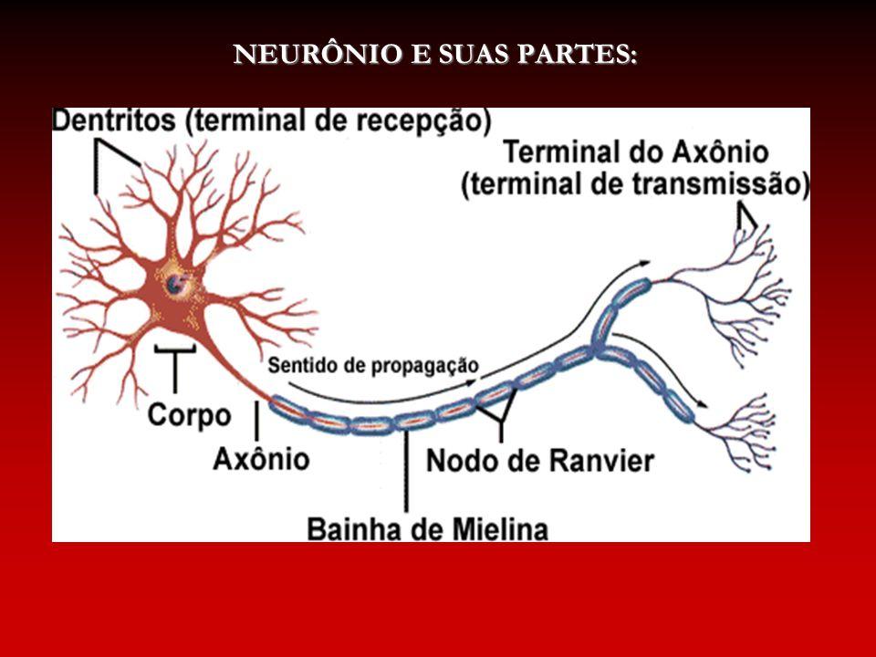 NEURÔNIO E SUAS PARTES: