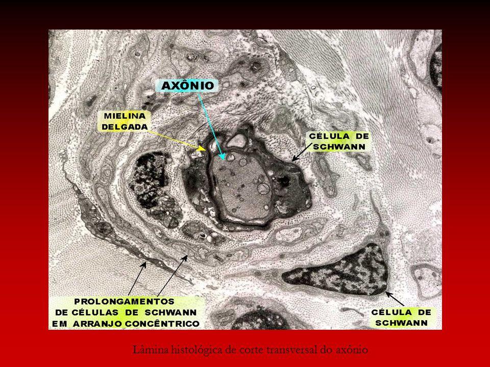 Lâmina histológica de corte transversal do axônio