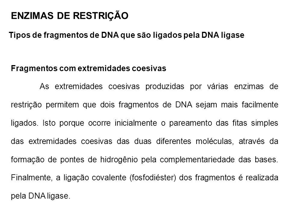 ENZIMAS DE RESTRIÇÃO Tipos de fragmentos de DNA que são ligados pela DNA ligase. Fragmentos com extremidades coesivas.