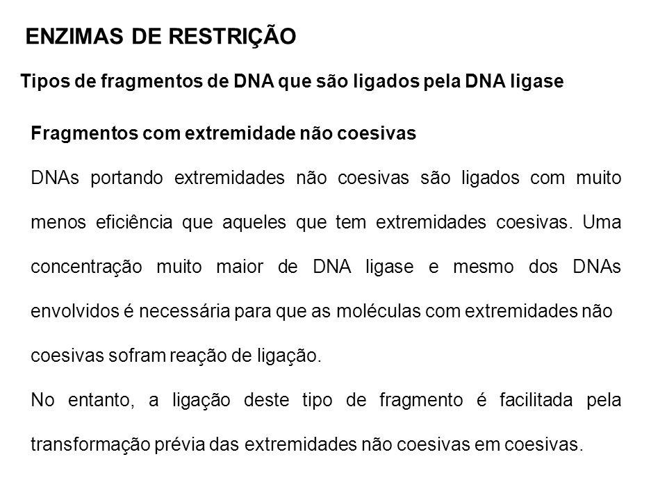 ENZIMAS DE RESTRIÇÃO Tipos de fragmentos de DNA que são ligados pela DNA ligase. Fragmentos com extremidade não coesivas.