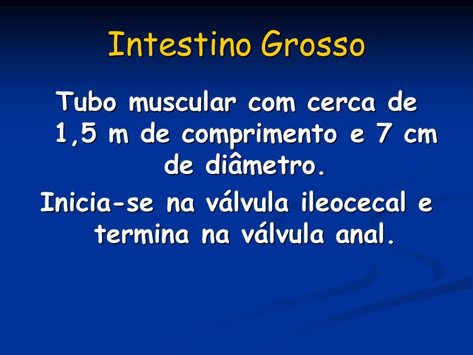 Intestino Grosso Tubo muscular com cerca de 1,5 m de comprimento e 7 cm de diâmetro.