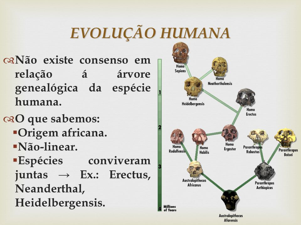 EVOLUÇÃO HUMANA Não existe consenso em relação á árvore genealógica da espécie humana. O que sabemos: