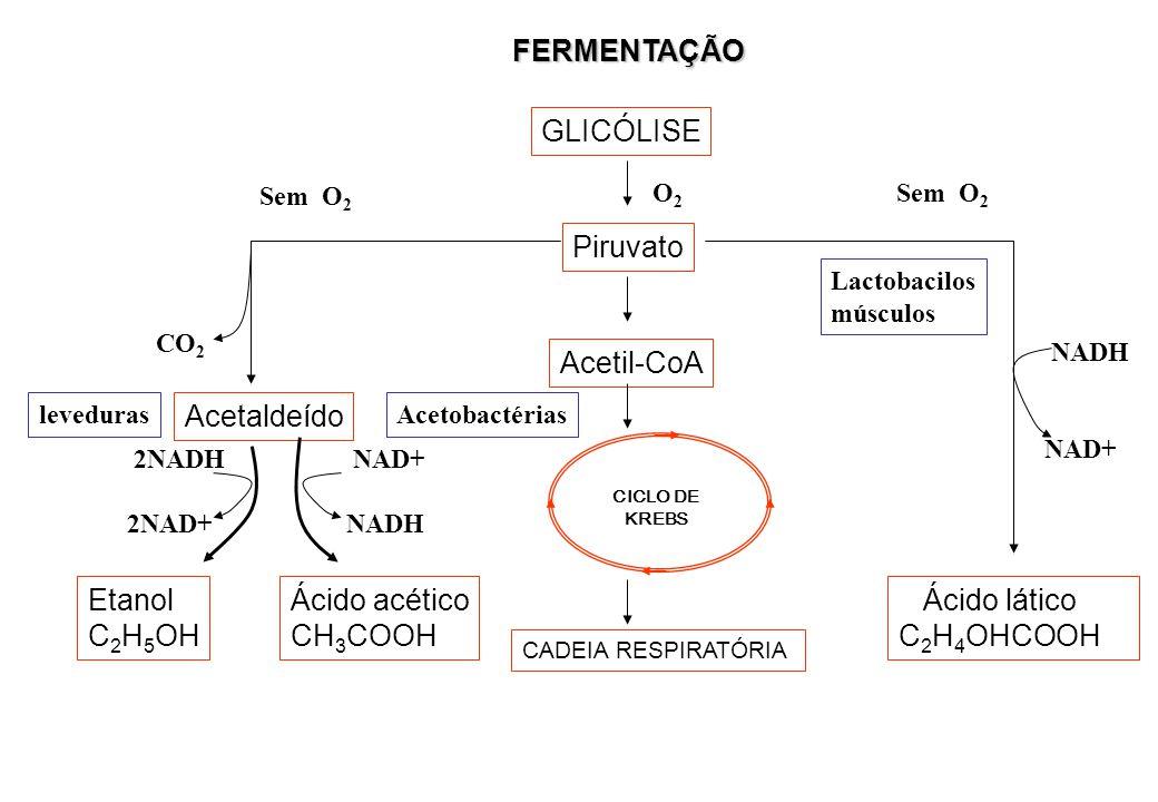 FERMENTAÇÃO GLICÓLISE Piruvato Acetil-CoA Acetaldeído Etanol C2H5OH