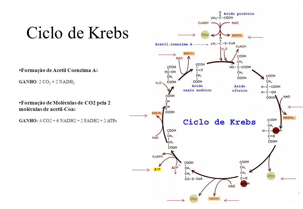 Ciclo de Krebs Formação de Acetil Coenzima A: