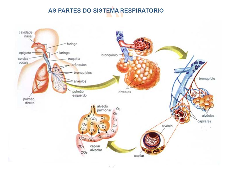AS PARTES DO SISTEMA RESPIRATORIO
