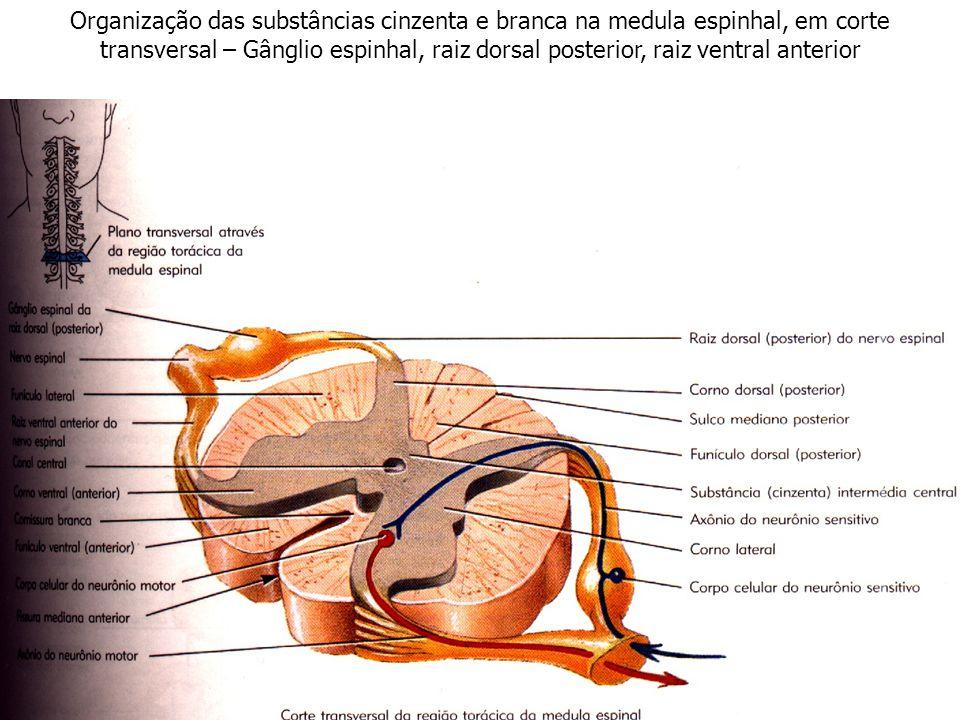 Organização das substâncias cinzenta e branca na medula espinhal, em corte transversal – Gânglio espinhal, raiz dorsal posterior, raiz ventral anterior
