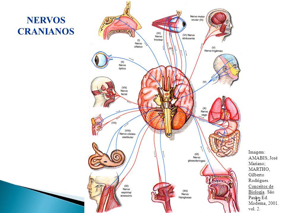 NERVOS CRANIANOS Imagem: AMABIS, José Mariano; MARTHO, Gilberto Rodrigues. Conceitos de Biologia. São Paulo, Ed. Moderna, 2001. vol. 2.