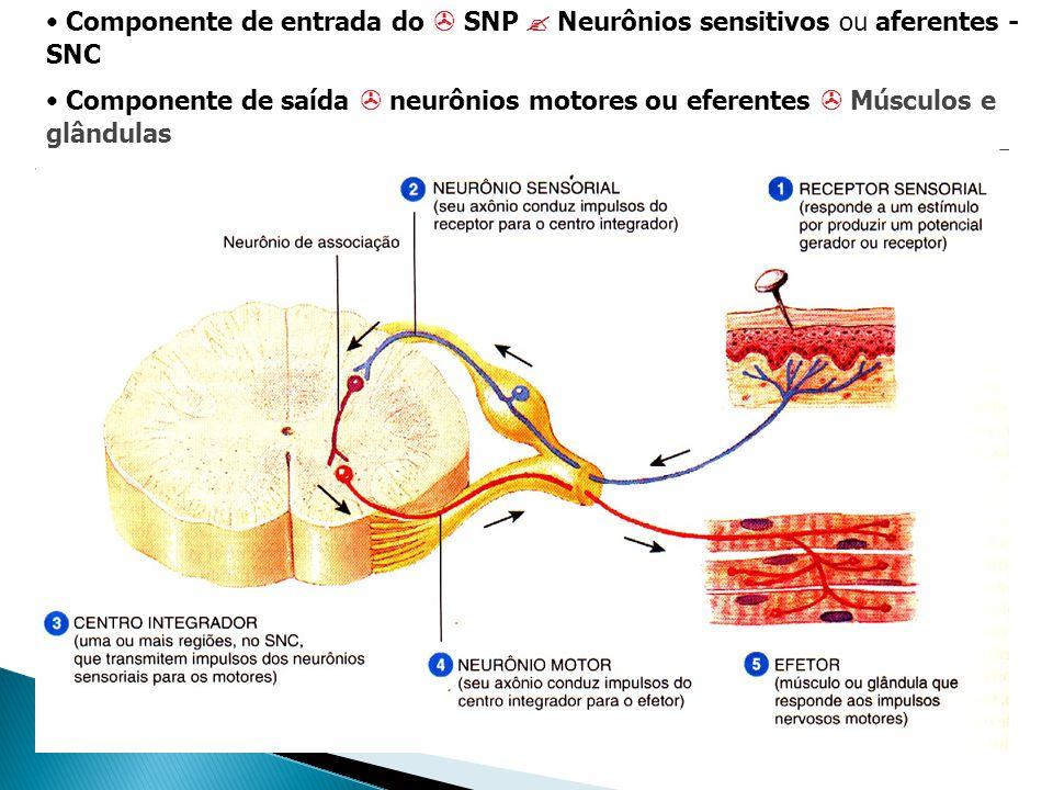 Componente de entrada do  SNP  Neurônios sensitivos ou aferentes - SNC