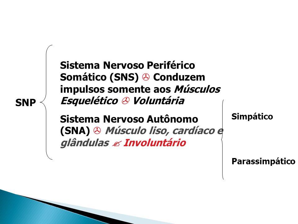 Sistema Nervoso Periférico Somático (SNS)  Conduzem impulsos somente aos Músculos Esquelético  Voluntária