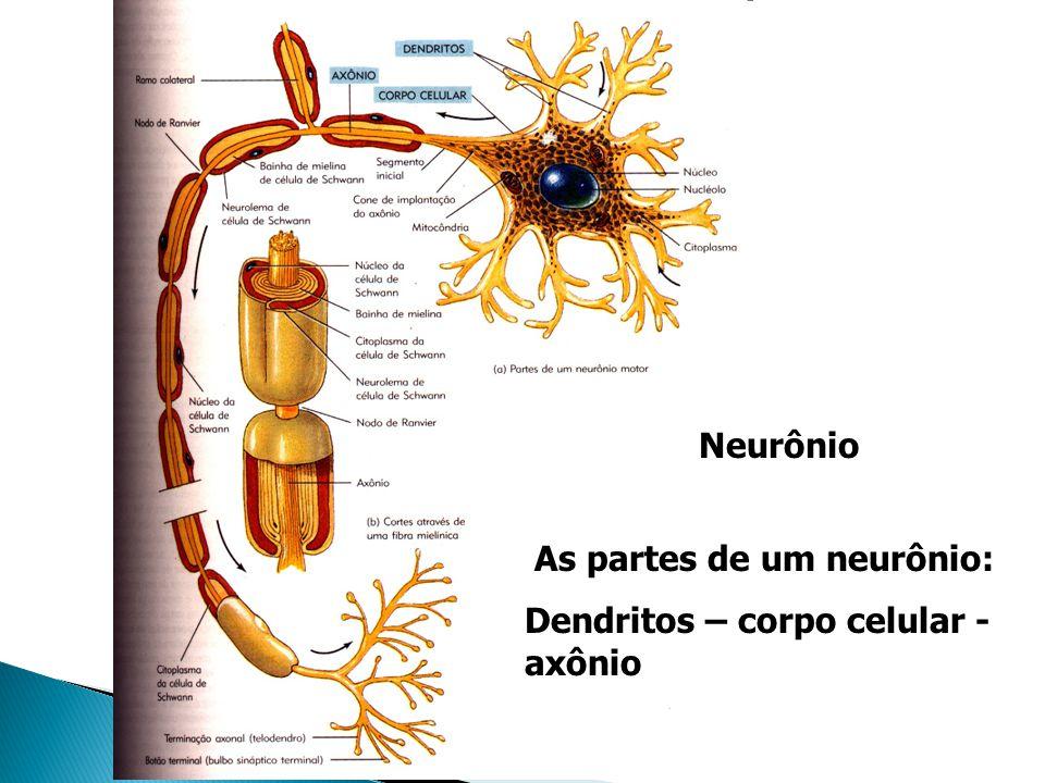Neurônio As partes de um neurônio: Dendritos – corpo celular - axônio