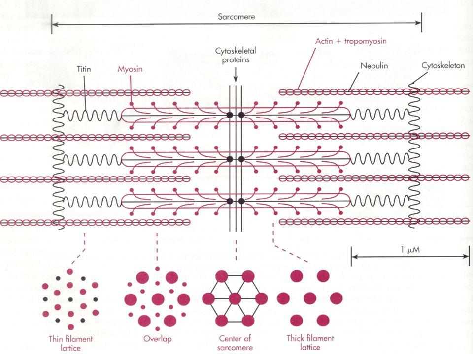 Estrutura Protéica do Sarcômero
