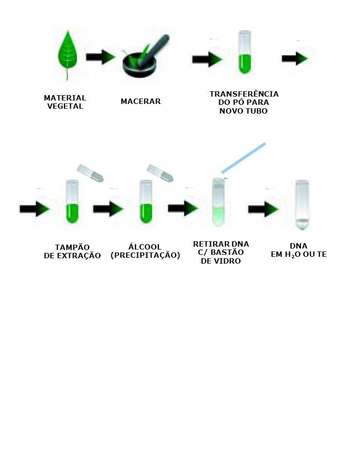 TRANSFERÊNCIA DO PÓ PARA. NOVO TUBO. MATERIAL. VEGETAL. MACERAR. RETIRAR DNA. C/ BASTÃO. DE VIDRO.