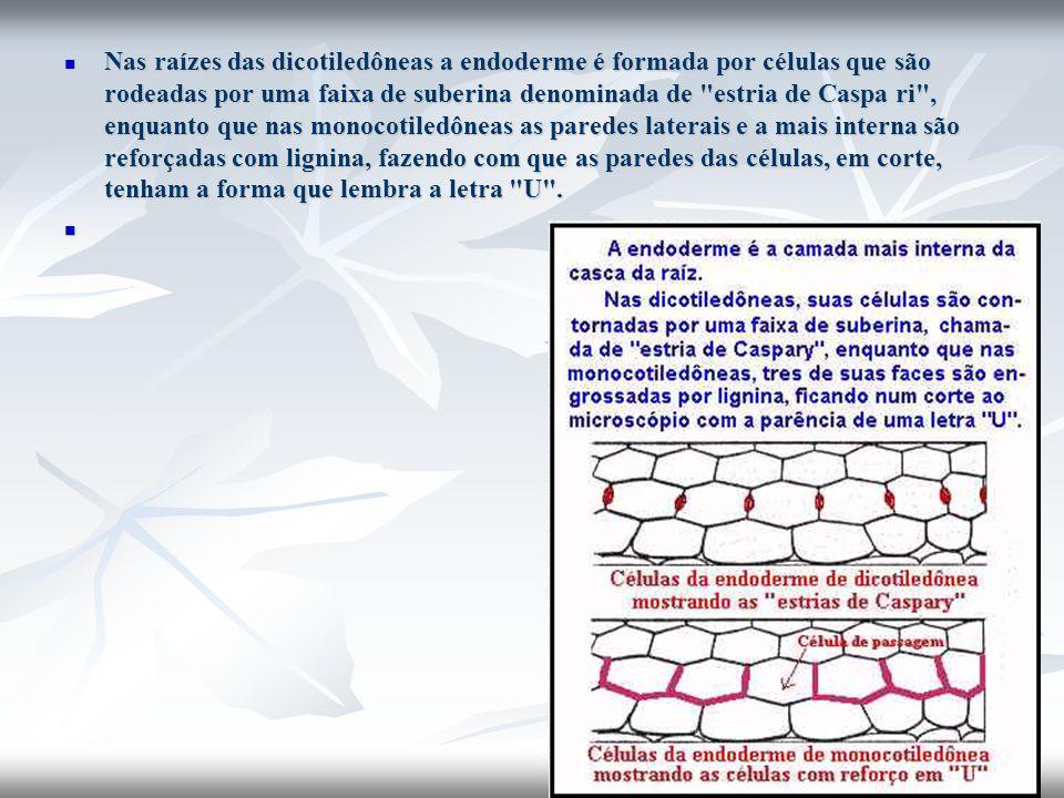 Nas raízes das dicotiledôneas a endoderme é formada por células que são rodeadas por uma faixa de suberina denominada de estria de Caspa ri , enquanto que nas monocotiledôneas as paredes laterais e a mais interna são reforçadas com lignina, fazendo com que as paredes das células, em corte, tenham a forma que lembra a letra U .