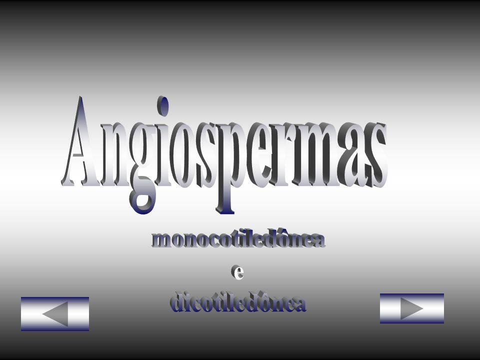 Angiospermas monocotiledônea e dicotiledônea