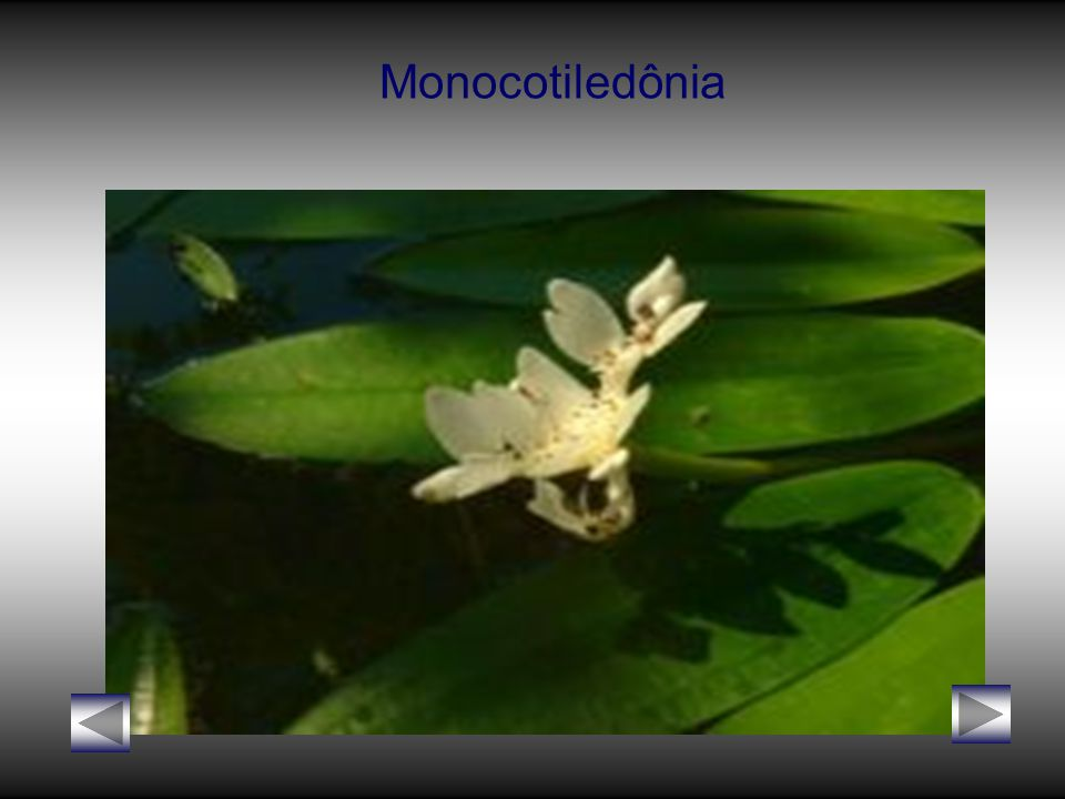 Monocotiledônia