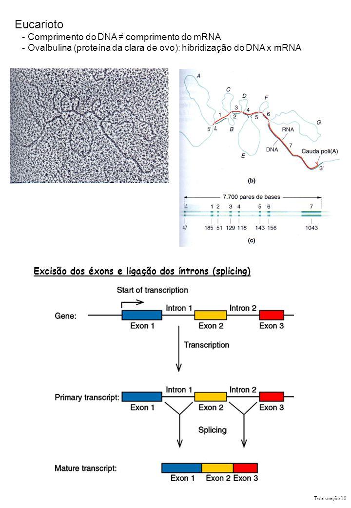 Eucarioto - Comprimento do DNA ≠ comprimento do mRNA