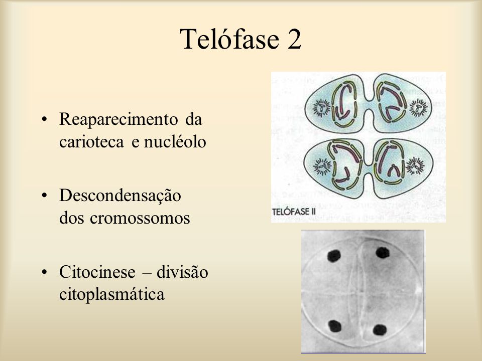 Telófase 2 Reaparecimento da carioteca e nucléolo